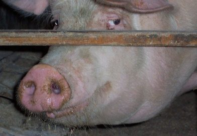 Schwein im Stall